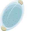 Trichuris egg.png