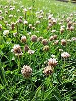Trifolium fragiferum (subsp. fragiferum) sl16.jpg