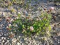 Trifolium hybridum subsp. hybridum sl8.jpg