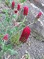 Trifolium incarnatum, 2021-05-20, Beechview, 01.jpg