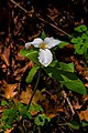 Trillium Flower Macro PLT-FL-TR-13.jpg
