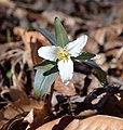 Trillium pusillum Arkansas.jpg