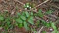 Tripladenia cunninghamii (16117379932).jpg