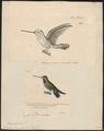 Trochilus longirostris - 1700-1880 - Print - Iconographia Zoologica - Special Collections University of Amsterdam - UBA01 IZ19100293.tif