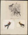 Trochilus ornatus - 1700-1880 - Print - Iconographia Zoologica - Special Collections University of Amsterdam - UBA01 IZ19100433.tif