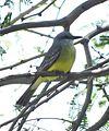 Tropical Kingbird (18379875609).jpg