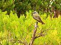 Tropical Kingbird - Flickr - treegrow (1).jpg