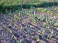 Tulipa cultivars - 1004.jpg