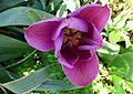 Tulipan. Tulip.jpg