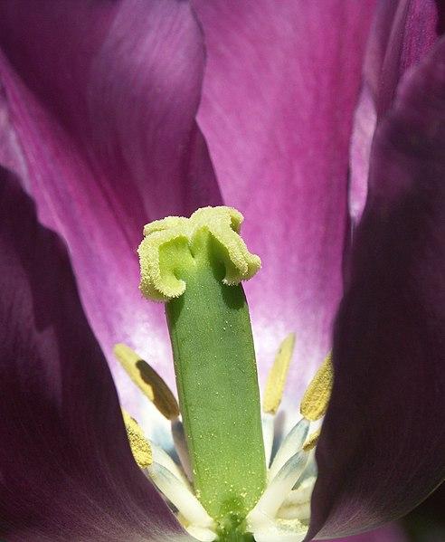 Datei:Tulpen Inside.JPG