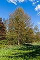 Tupellobaum QAV-Park (Umkirch) jm28312.jpg