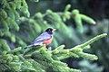Turdus migratorius -British Columbia, Canada-8.jpg