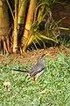 Turdus plumbeus in Dominica-a01a.jpg