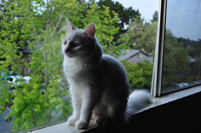 ملف:Turkish Angora sitting on a window sill.jpg