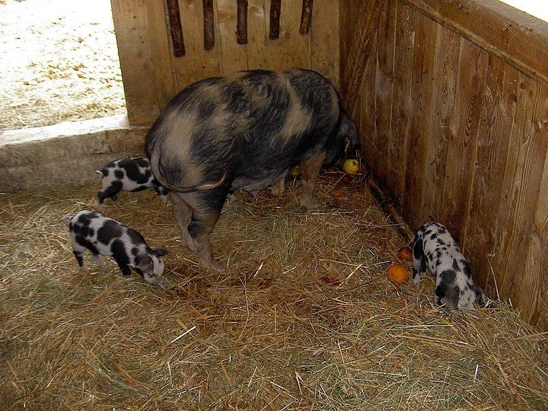File:Turopolje-Schwein mit Ferkel.jpg