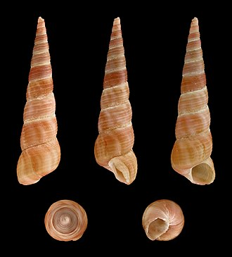 Turritella communis - Five views of a shell of Turritella communis