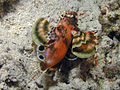 Twinspot Lionfish, Bunaken Island.jpg