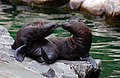 Two young sea lions (5846231840).jpg