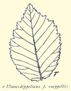 <i>Ulmus minor</i> Rueppellii Elm cultivar