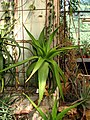 Unidentified Aloe - Saint Petersburg Botanical Gardens.jpg