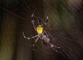 Unidentified spider eating a beetle, Gembira Loka, Yogyakarta, 2015-03-15.jpg