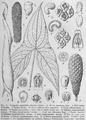 Urospatha sagittifolia DPR.png