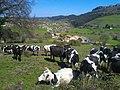 Vacas y Gandarilla al fondo.jpg