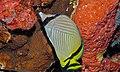 Vagabond Butterflyfish (Chaetodon vagabundus) (8476522317).jpg