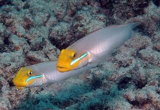 <i>Valenciennea strigata</i> species of fish