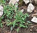 Valeriana acutiloba var pubicarpa 1.jpg