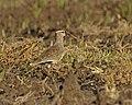 Vanellus gregarius.jpg