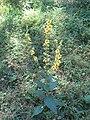 Verbascum nigrum 01.jpg