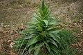 Verbascum virgatum plant4 (16377955992).jpg