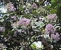 Vernonia arborea 02.JPG