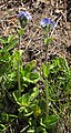 Veronica bellidioides 2 RF.jpg