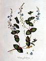 Veronica chamaedrys — Flora Batava — Volume v1.jpg