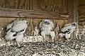 Verrazano Bridge Chicks (14113089788).jpg