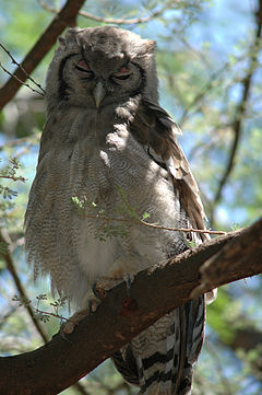 Verreaux's Eagle Owl in Larsens Camp.jpg