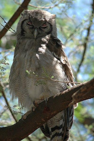 Ficheiro:Verreaux's Eagle Owl in Larsens Camp.jpg