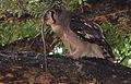 Verreaux's eagle-owl, or giant eagle owl, Bubo lacteus eating a snake at Pafuri, Kruger National Park, South Africa (20497194608).jpg