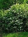 Viburnum opulus 001.JPG