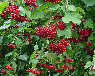 Viburnum - Viburnum opulus fruit