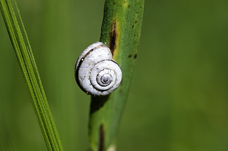 Vineyard snail aestivating