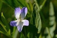 Viola elatior - kõrge kannike Keilas1.jpg
