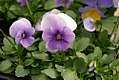 Viola tricolor Sorbet Icy Blue 0zz.jpg