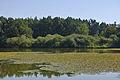 Vrbenské rybníky - Šnejdlík - Nymphoides peltata.jpg
