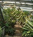 Vriesea tuerckheimii BotGardBln07122011A.jpg