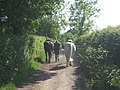 Walking Horses on the bridleway - geograph.org.uk - 1321643.jpg