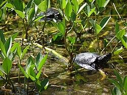 Wasserschildkröte.JPG