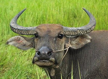 Water buffaloes of Cambodia.jpg